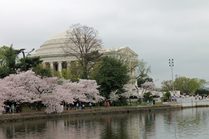 Cherry Blossoms in Washington, D.C.  Copyright 2012 by Deborah A. Deal